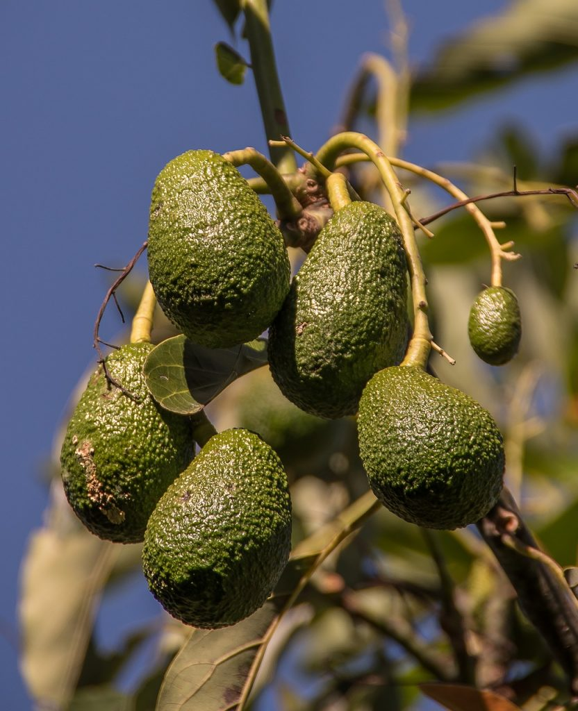 hass avocado, avocados, fruit